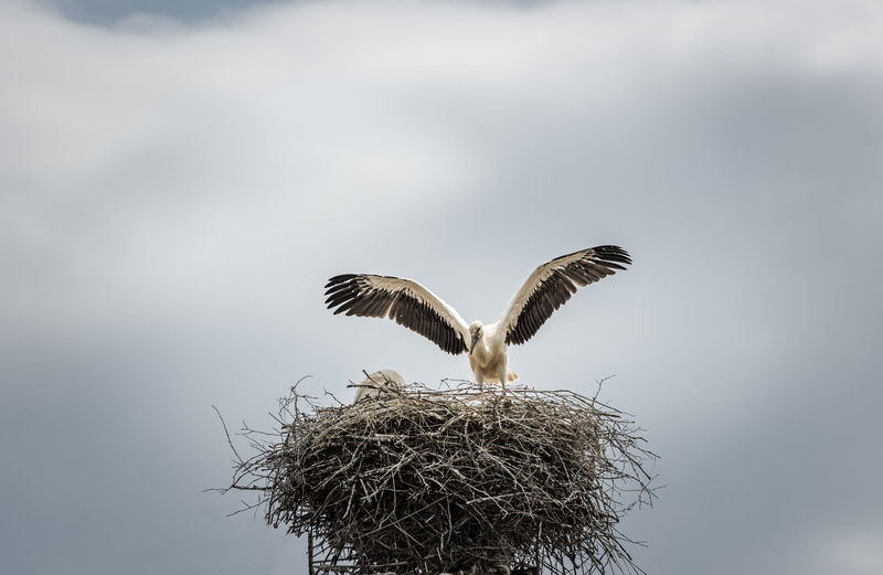 Low Angle View Of Stork Over Nest