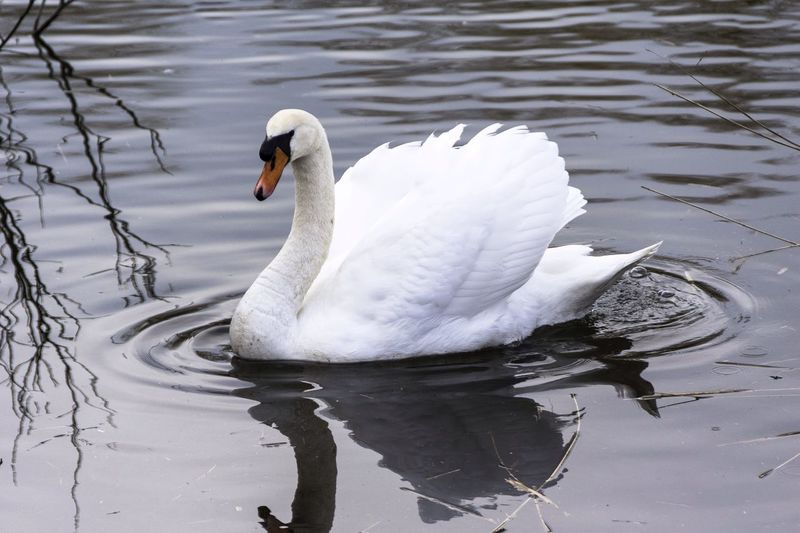 Swan Swans Swans ❤ Check This Out Taking Photos Enjoying Life Relaxing Hanging Out Promofoto Nature On Your Doorstep PromoPhoto Naturephotography Hello World Photography Nature Photography