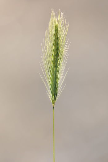 Single ear of wheat backlit by sun Beige Brown Background Growth Wheat Back Lit Beauty In Nature Brown Cereal Plant Close-up Copy Space Day Ear Of Wheat Focus On Foreground Fragility Freshness Green Color Growth Nature Outdoors Plant Plant Part Plant Stem Simplicity Single Object Vulnerability