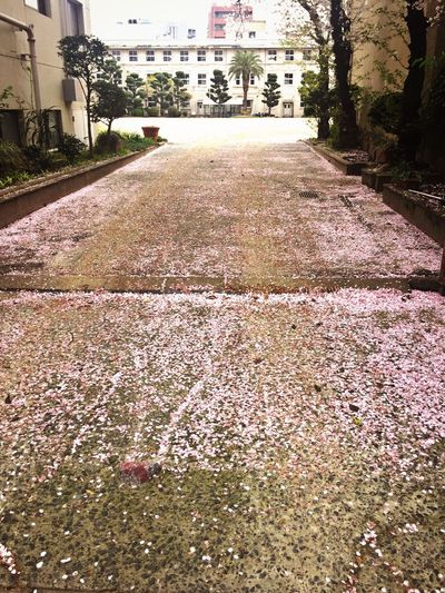 Cherry Blossoms Petals Sakura Sakura2016 Springtime サクラ 桜 桜の花びら 🌸 Urban Spring Fever Showcase April Ultimate Japan