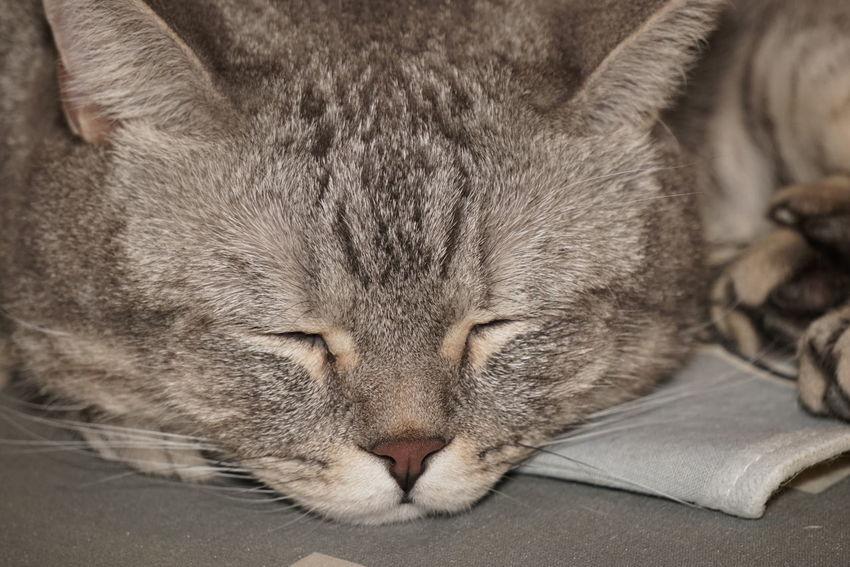 Animal Themes British Shorthair Cat Close-up Day Domestic Animals Kitty Mammal No People Pets