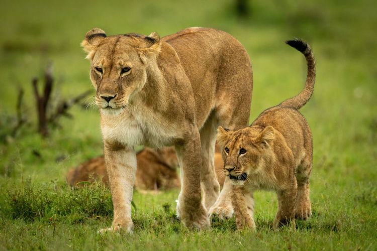 Lioness with cub cross grass in step
