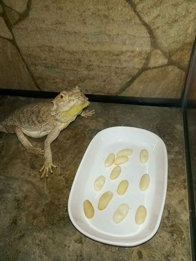Pogona Bearded Dragon Hanging Out Reptile Edna Rescued Non Viable Duds Unfertilized Egg