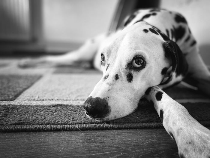Close-up of a dog resting on floor
