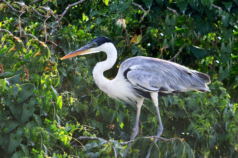 Big Egret on a tree branch Animal Themes Animal Wildlife Animals In The Wild Bird Day Egret Nature No People One Animal Outdoors Park Tree