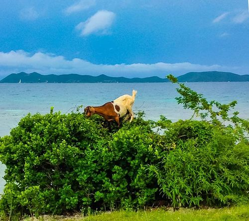 Paradise Animal Themes Beauty In Nature Bvi Caribbean Cloud - Sky Day Domestic Animals Livestock Mammal Mountain Nature No People One Animal Outdoors Scenics Sea Sky Tranquility Tree Water