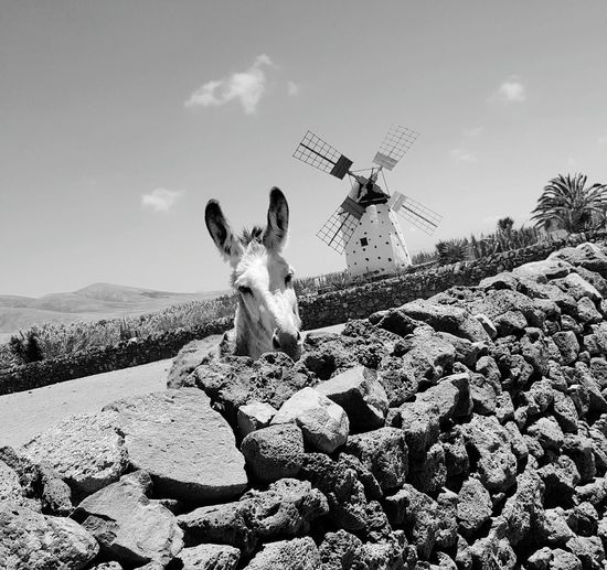 Fuertventuera Animals In The Wild Canary Islands Wildlife Animals Jeep Safari Sky Outdoors EyeEm Of The Week Windmill Donkey Wall Monochrome Photography The Great Outdoors - 2017 EyeEm Awards
