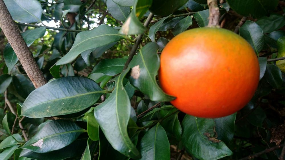 Fruit Tree Food Leaf Freshness Citrus Fruit Food And Drink Healthy Eating Orange - Fruit Branch Growth No People Close-up Juicy Nature Outdoors Day Orange Tree Nature Of Beauty Tranquility Hong Kong Harmony With Nature Tai Tam Country Park Environmental Conservation Autumn