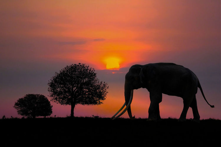 Silhouette of elephant on field during sunset