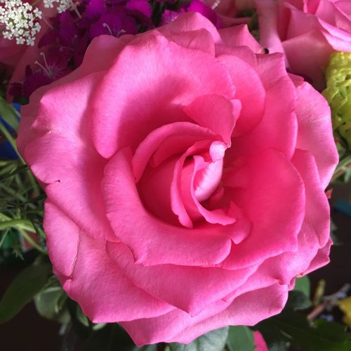 Beautiful Pink Rose! Shades Of Pink Birthday Gift Full Bloom Aromatic Beauty