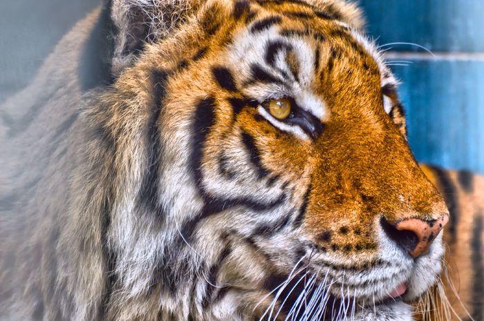 Tiger Tigre Zoo Animals Paura GRRRRRRR! Whywelovenature