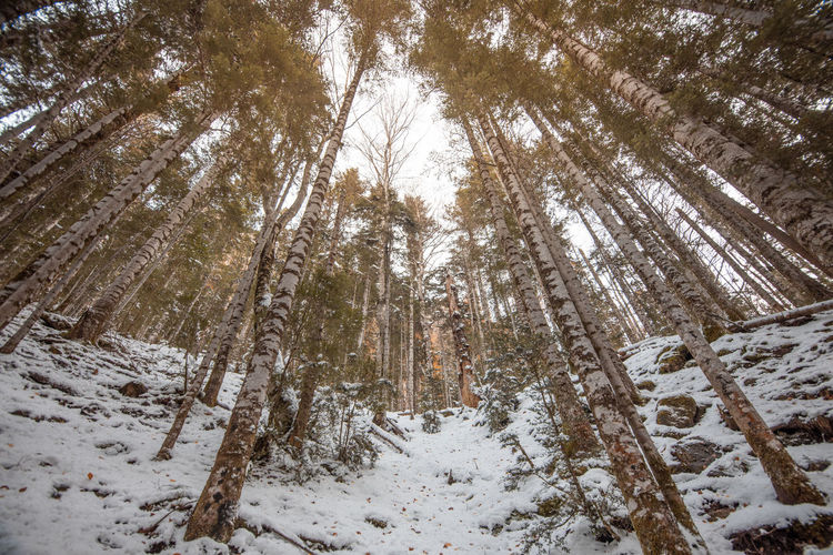 Low angle view of trees in forest during winter