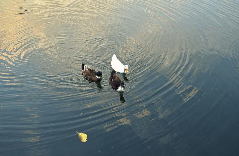 Floating ducks in rabindra sarovar lake, kolkata in evening.