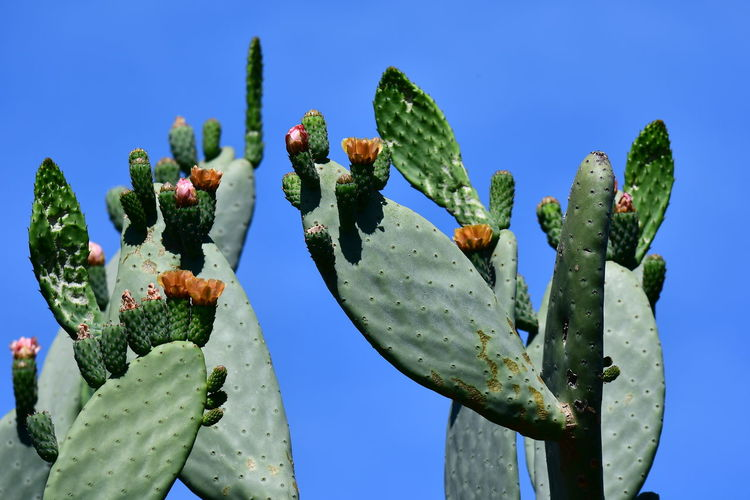 Low angle view of cactus growing against clear blue sky