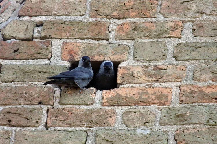 Duck against brick wall