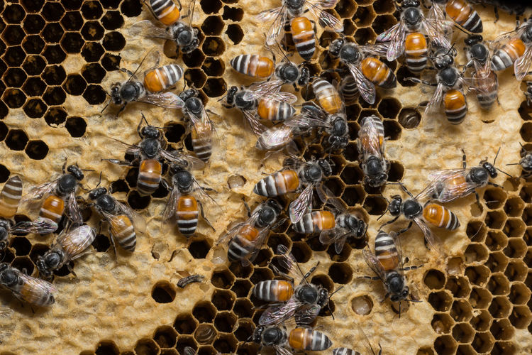 Full frame shot of honeycomb with bees
