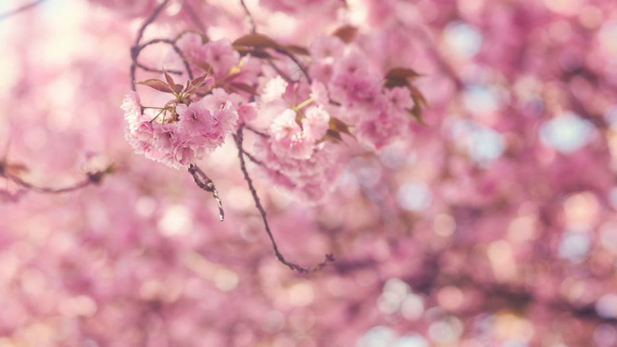 Spring Japanese Cherry blossoms Backgrounds Beauty In Nature Bloom Blossom Blossoming  Cherry Blossoms Close-up Flora Floral Flower Freshness Growth Horizontal Japanese  Nature No People Orchard Outdoors Pink Season  Softness Spring Springtime Tree First Eyeem Photo