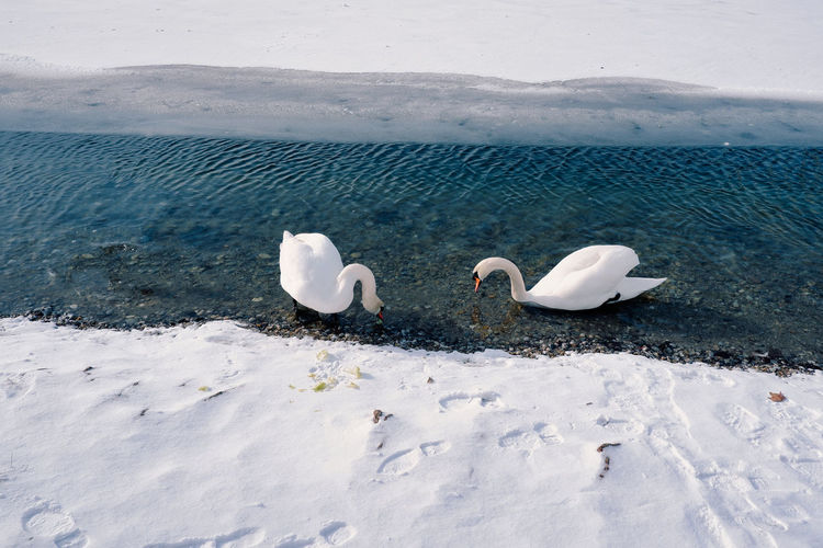 High angle view of swans floating on lake during winter