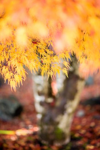 Yellow Japanese maple in autum. Japanese Maple Yellow Autumn Leaves