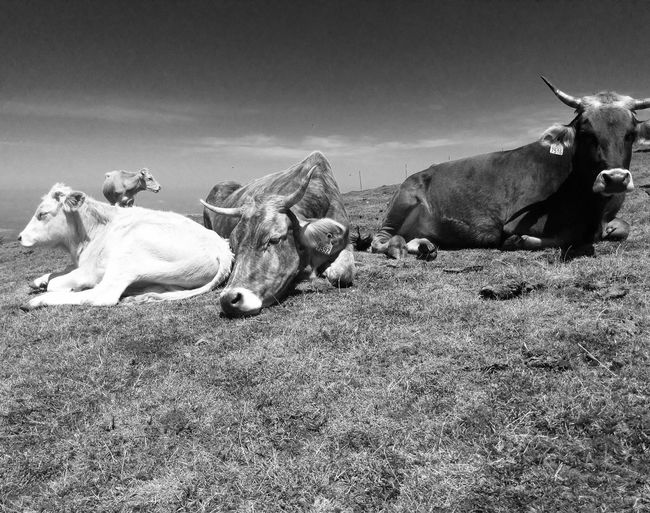 Cows Photography Blackandwhite Photography Montain