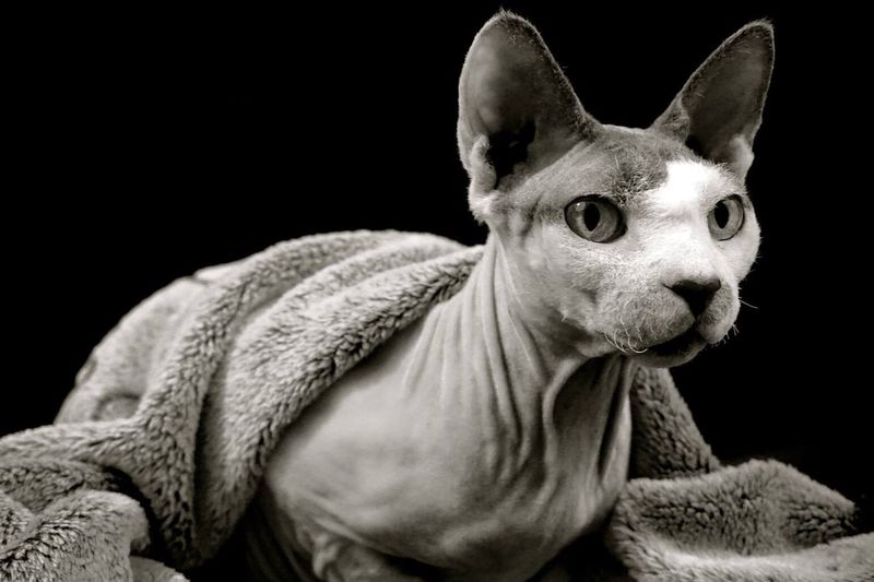Beyonce Sphynx Princess Bald Is Beautiful Cat Animal Love Real Life. Pet Animal Themes Black And White Naked Beauty