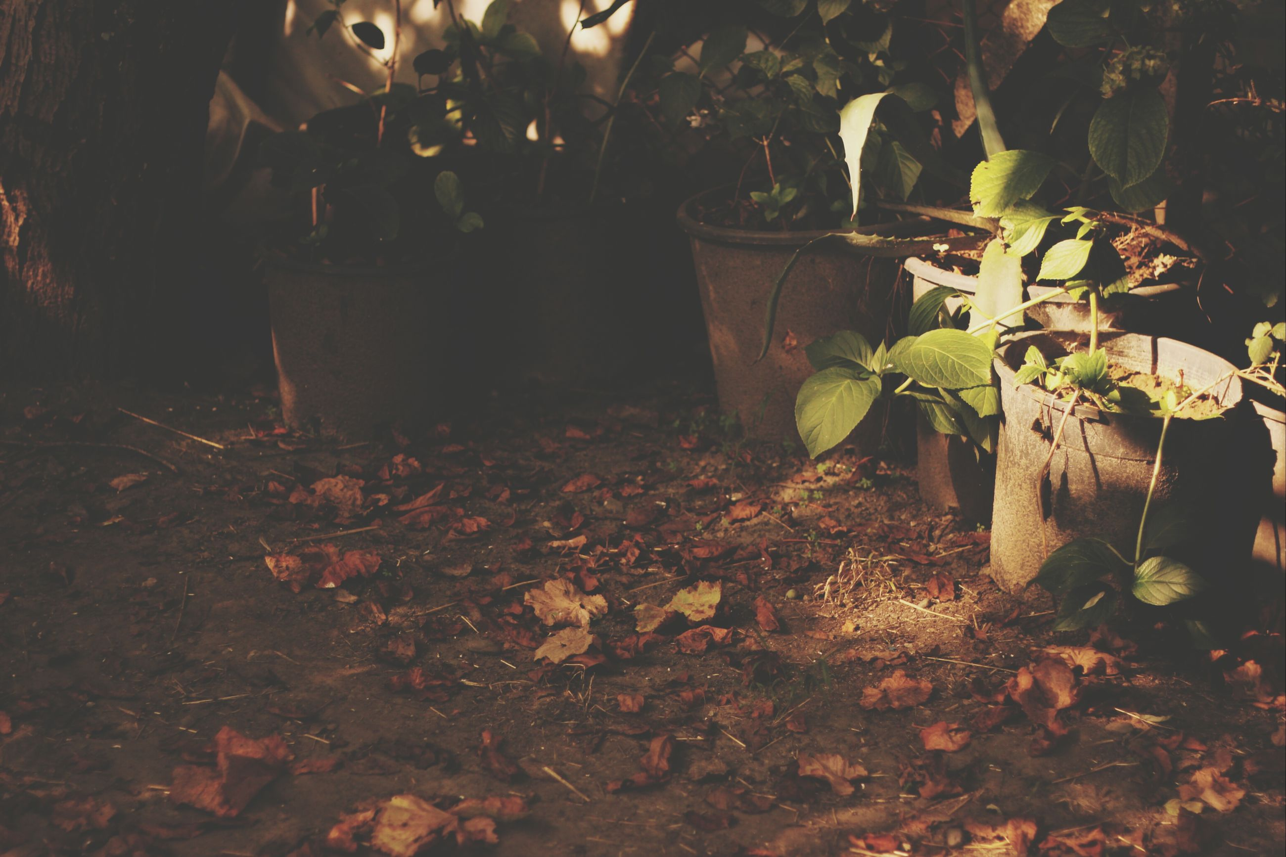 leaf, plant, growth, night, nature, potted plant, illuminated, front or back yard, no people, tree, built structure, flower, outdoors, sunlight, house, wall - building feature, leaves, autumn