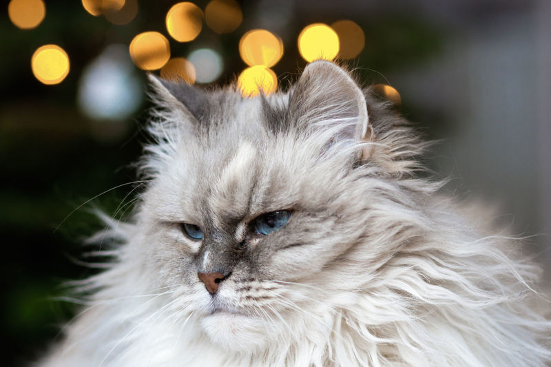Jeanny beneath the Christmas lights Cats Of EyeEm Cat Cat♡ Close-up Domestic Animals Domestic Cat Feline Indoors  Looking At Camera Neva Masquerade No People One Animal Pets Portrait EyeEmNewHere EyeEmNewHere