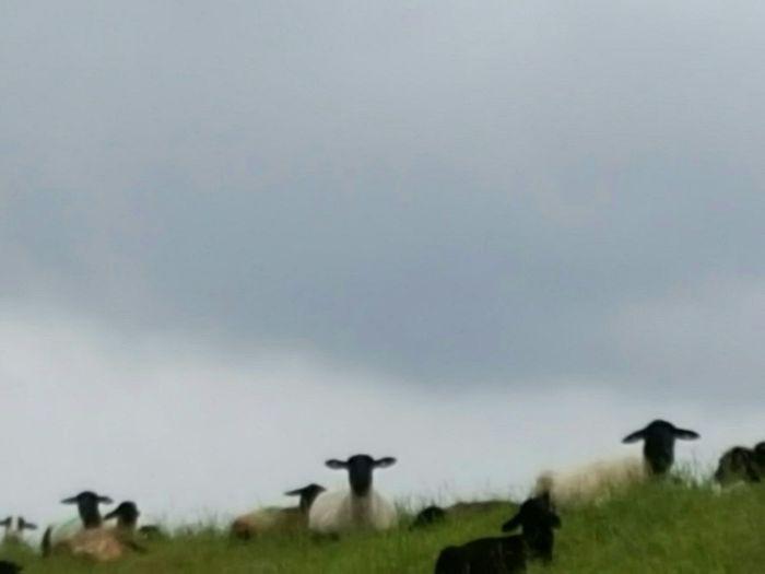 Sheep Sheeps Dike Dyke  Sheeps Dike Animals Animal Head  Sheeps With Black Head