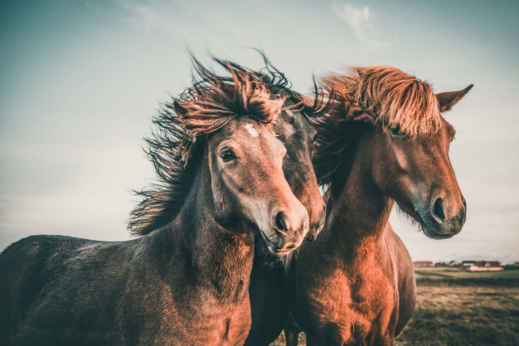 Great hairstyle Mammal Livestock Domestic Domestic Animals Animal Themes Animal Pets Horse Vertebrate Group Of Animals Animal Wildlife Two Animals Sky Nature Land Herbivorous Day No People Outdoors Animal Head  Ranch Iceland Icelandic Denmark Equine
