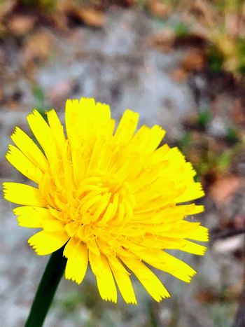 The lonely weed Flower Flowering Plant Yellow Petal Plant Vulnerability  Flower Head Inflorescence Close-up Growth Freshness Focus On Foreground Day Beauty In Nature Nature Pollen Fragility No People Outdoors