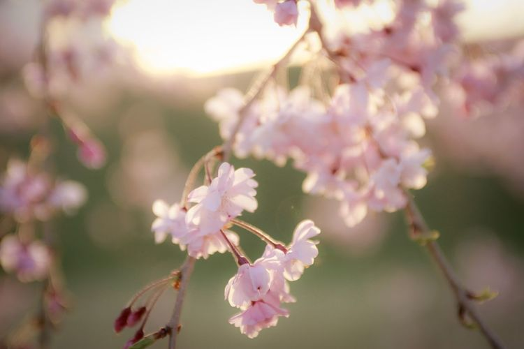 Flower Flowering Plant Plant Freshness Fragility Vulnerability  Beauty In Nature Growth Branch Close-up Petal Pink Color Blossom Springtime Flower Head Nature