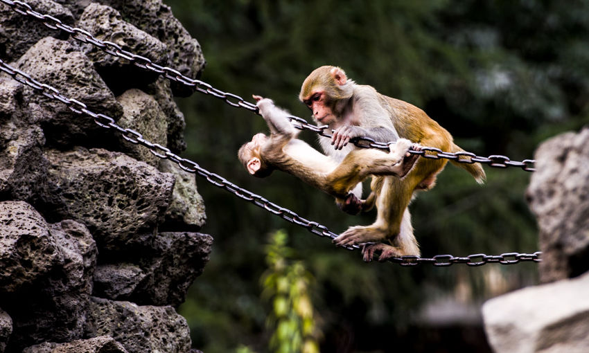 Monkeys on chains in forest