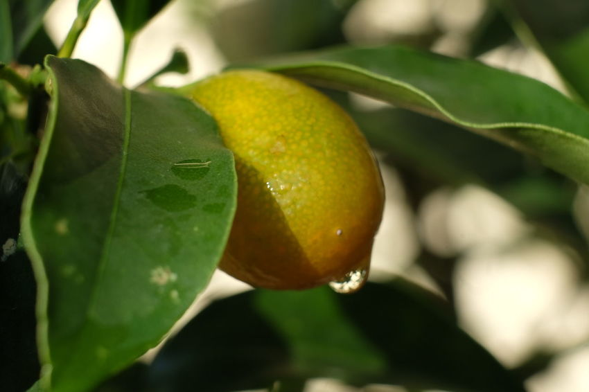 Tree Fruit Leaf Citrus Fruit Agriculture Sour Taste Ripe Close-up Food And Drink Green Color