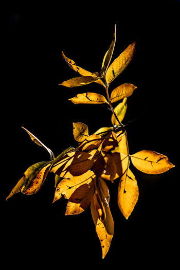 Close-up of dry leaves against black background