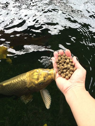 fEEding timE... Carp Fishpond Feeding The Fish Feedingtime Human Hand Fish One Person Human Body Part Holding Nature Water Food Outdoors Healthy Eating Day Animal Themes Close-up Catch Of Fish Freshness People Nofilter Naturalshot