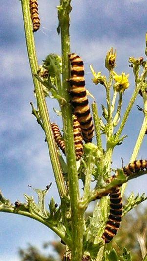 Poisonous British plant a caterpillar.. Flowers Taking Photos