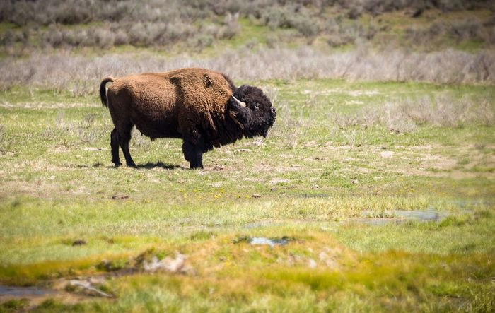 Bison Buffalo Wild Animal Wildlife & Nature Hiking Photography Hiking Landscape_Collection Landscapelovers Landscape Animal Animal Themes Mammal Grass Animals In The Wild Plant Animal Wildlife Field One Animal American Bison
