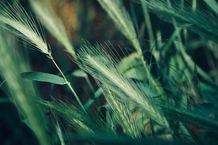 Agriculture Beauty In Nature Blade Of Grass Cereal Plant Close-up Crop  Day Ear Of Wheat Field Focus On Foreground Grass Green Color Growth Land Leaf Nature No People Outdoors Plant Selective Focus Stalk Timothy Grass Tranquility Wheat