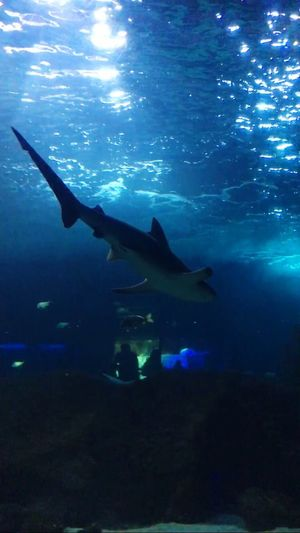 Shark Sharks Shark Attack Park Parc Marineland Antibes Animals Aquarium Animal Themes Animal Animals In The Wild Animal Head  Sea Tunnel Aquarium