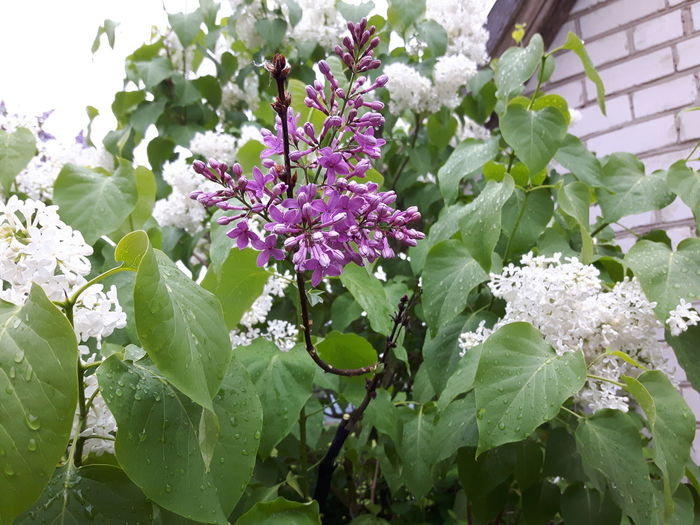 Beauty In Nature Blooming Branch Close-up Day Flower Flower Head Fragility Freshness Green Color Growth Leaf Lilac Nature No People Outdoors Petal Plant Tree