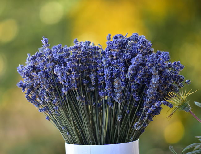 Dryed Lavender Beauty In Nature Blooming Close-up Day Dryed Flower Flower Flower Head Fragility Freshness Growth Nature No People Outdoors Petal Plant Purple