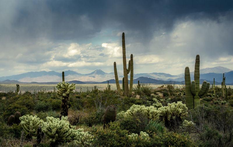 Saguaro cactus field against sky