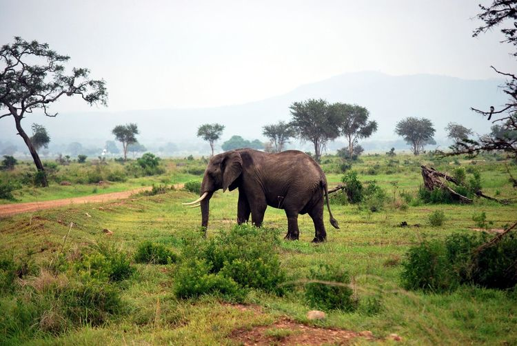 Side View Of Elephant On Field