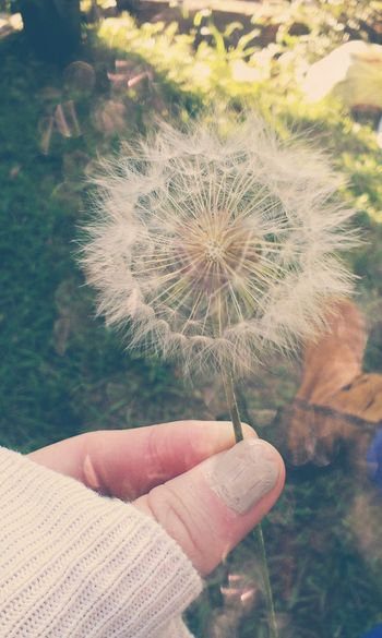 Dandelion Nature