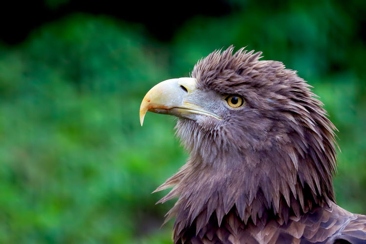 Close-Up Of Golden Eagle Looking Away