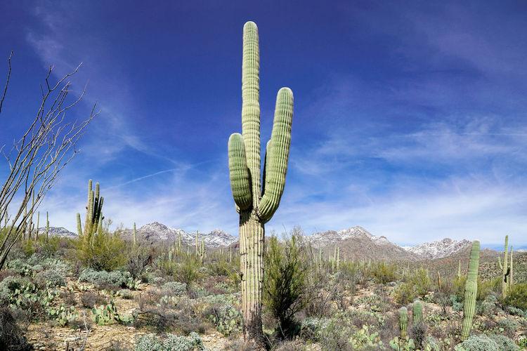 Plant Saguaro