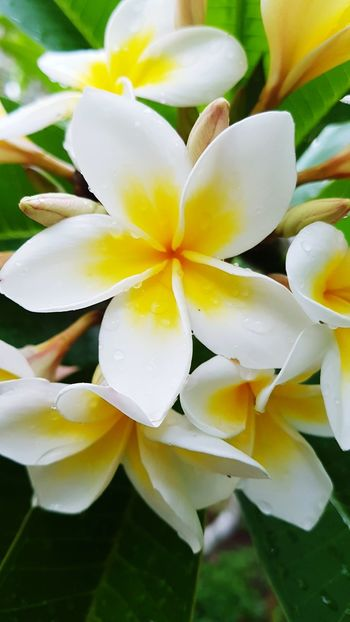 Flower Petal Plant Nature Freshness Beauty In Nature Water Flower Head Leaf Green Color No People Growth Close-up Water Lily Fragility Day Outdoors Rainy Days Beauty In Nature Australia EyeEm Nature Lover Backgrounds Taking Photos Taking Pictures Eyeem Photography White Color Blooming Frangipani Yellow