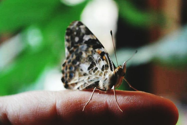 Close-Up Of Butterfly Perching On Person Finger