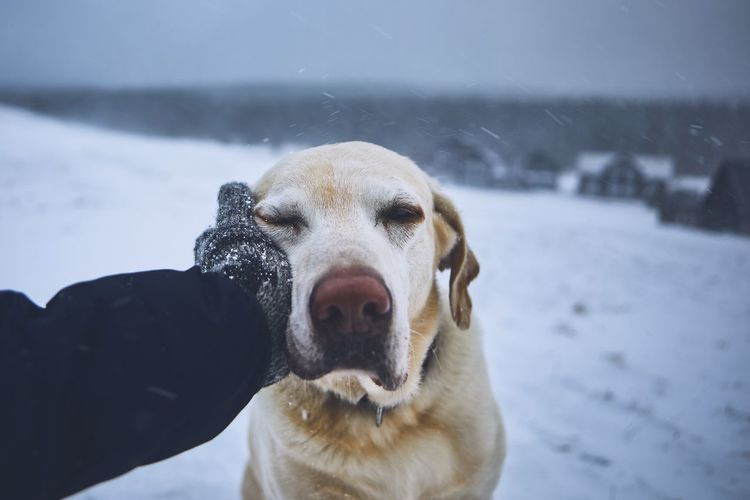 Friendship between pet owner and his dog. Hand in knitted glove stroking labrador retriver in winter landscape. Snow Snowing Winter Nature Landscape Cold Temperature Labrador Dog Pets Domestic Animals Cute Canine Friendship Love Trust Loyalty Embracing Touching Stroking Weather Togetherness Pet Owner Men Hand People