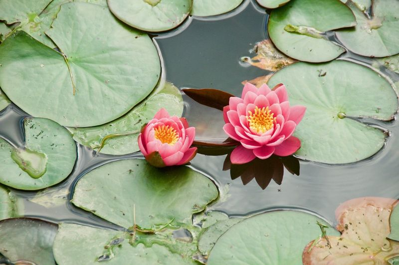 Sunny Day Red Color Cuntryside Green Color Flower Head Flower Water Lotus Water Lily Leaf Water Lily Floating On Water Pink Color Social Issues Close-up Pond Lily Pad Lily Floating Pollen Blooming